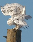 Snowy Owl, submitted by GBBC  2012 participant