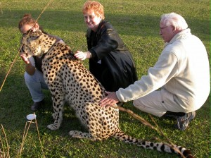 Petting cheetah, South Africa