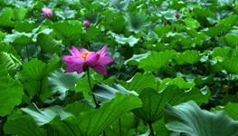 lotus-plant-field