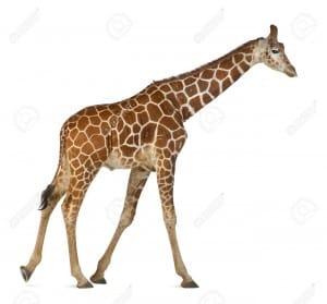 15251490-Somali-Giraffe-commonly-known-as-Reticulated-Giraffe-Giraffa-camelopardalis-reticulata-2-and-a-half--Stock-Photo