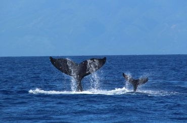 HUMPBACK WHALES: The Best Of IMAX
